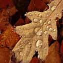 light-brown-colors-fallen-leaf-water-drops