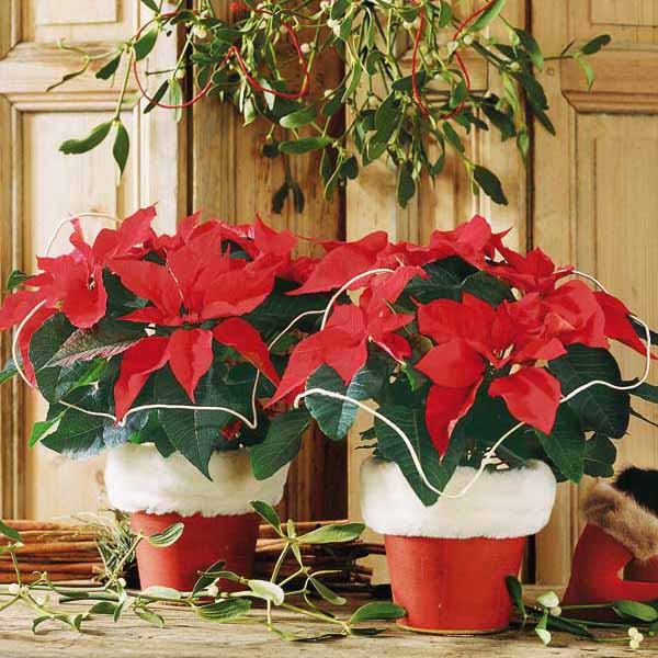 traditional christmas table decorating with poinsettia plants