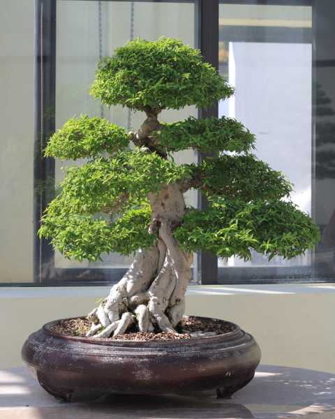growing miniature tree for home decorating