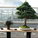 bonsai plant for home decorating